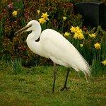 Kotuku White Heron