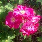 De jolies roses