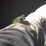 The native red eyed frog found on a leaf close to a pond @Rainmaker