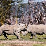White Rhinos at Nakuru, playing