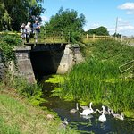 Feeding swan family from disused railway bridge, next to the cottage