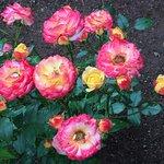 Roses again :)