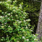 Springtime Honeysuckles