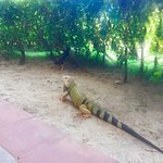 iguanas!