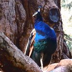 Peakcock in the Tree