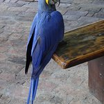 Resident Hyacinth Macaw, Eco Lodge