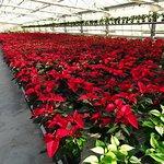 Cà Florian è un agriturismo che produce fiori. A novembre molte stelle di Natale.