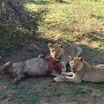 Young lions with their kill