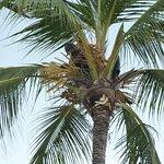 Gärtner bei der Arbeit in der Kokospalme