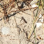 Wildlife on the beach--a harmless five-lined skink.