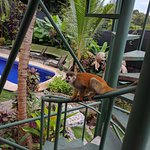 Squirrel monkeys paying a visit to the balcony