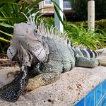 iguana by the lazy river