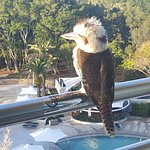 The curious kookaburra ... he stayed for ages!!