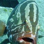 Giant grouper seems happy