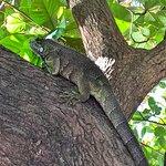 Iguanas andam a vontade pelo Resort...natureza fantastica!