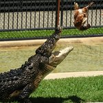 Crocodile Show - A Croc catching a Chicken (dead of course)