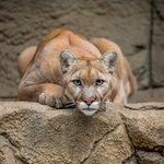 Puma takes a guarded posture...