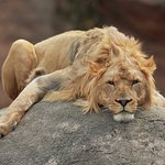 Lion completely chilling on his mound...