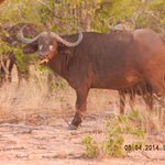 Buffalo all over our road; just passing through....large herd.