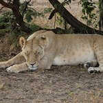 Game drive - lion