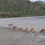 early morning kangaroo reunion