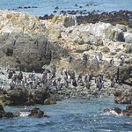 African Penguin colony on Robben Island