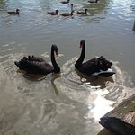 Black swans at Slimbridge