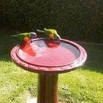 The rainbow lorikeets are fed twice a day.