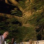 500 years old Ceiba tree