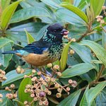 Spangled Cheeked Tanager
