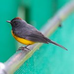 Slate Throated Redstart