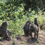 Baboons & Vervits Foto