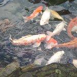Koi fish in the Japanese Garden