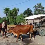 Ready to Tharu Village visit by Tharu oxcart