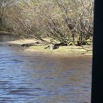 Ein Aligator am Sonnenbaden. Sie sind jedoch sehr schnell im Wasser und dann sieht man nur wie s