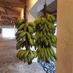Where can you find bananas in the corridors of a hotel?