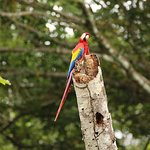 Nice views of Scarlet Macaws from the hotel grounds