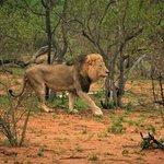 Le roi des animaux dans la réserve de Balule