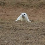 Donna Nook - a few weeks old seal pup