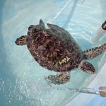 Toby the turtle in rehab