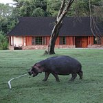 hippo grazing at the keekorok grounds