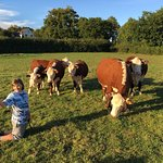 My daughter encountering a prize Hereford for the first time! Usk Castle Frm in the background