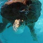 Sam, the sea turtle, is recovering at the Turtle Hospital on Marathon Key.