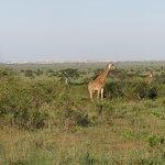 Giraffe meander past verandah at Silole Sanctuary