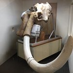 Skull of the Bristle Mammoth - excavated in 2015 only 20 miles away from the Museum!