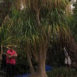 One of the largest Pony tail Palms I have ever seen.