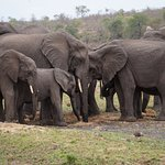 Thirsty elephants digging for water in the dried out river bed
