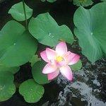 Beautiful lotus flower near the spa inside garden of hotel