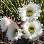 Large Argentinian variety of cactus in bloom