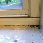 all the bugs that come in because no screens on windows. dead flies.
